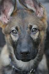 I No Get What You Say (cwgoodroe) Tags: german shepherd germanshepherd dog puppy fuzzy cute close up furry fall thanksgiving2007 ears eyes alien cuddle brown germanshepherdeyes tongue color stick gsd cutepuppy sephard canine k9 closeup running run ran trot chew gnaw alet attention guard guarding watching observant