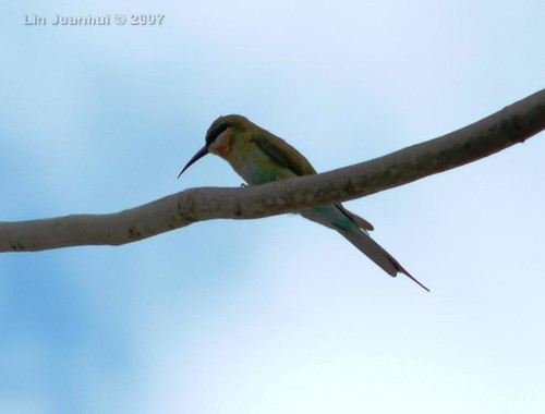 DSCF9381 Blue-tailed Bee-eater