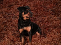 A dog named Sioux (*SARCASTICALIOUS*) Tags: rottweiller sioux mybitch isawyoufirst blueribbonphotogpaphy