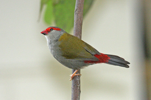 IMG_6278 Red-browed Finch (Neochmia temporalis)