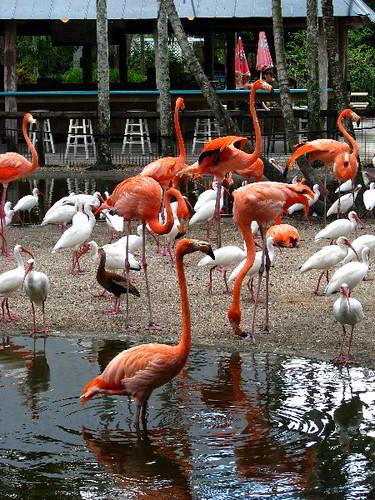 Photo of Flamingos in Florida Flamingo Gardens