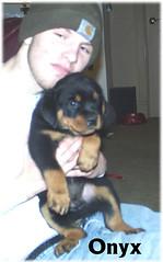 o4 (muslovedogs) Tags: dogs puppy rottweiler teaara zeusoffspring