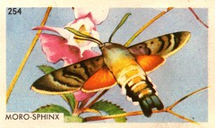 papillon 010