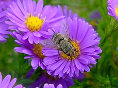 Wanna See A Picture Of My Fly (littlebiddle) Tags: flower fly aster theobligatoryflowerpicture onlythebestare