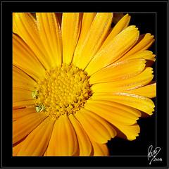 Inicio de semana (Paco CT) Tags: light wild flower color luz yellow flor olympus amarillo e3 2008 silvestre vegetal flowerotica ltytr2 ltytr1 ltytr3 pacoct zuiko1260swd