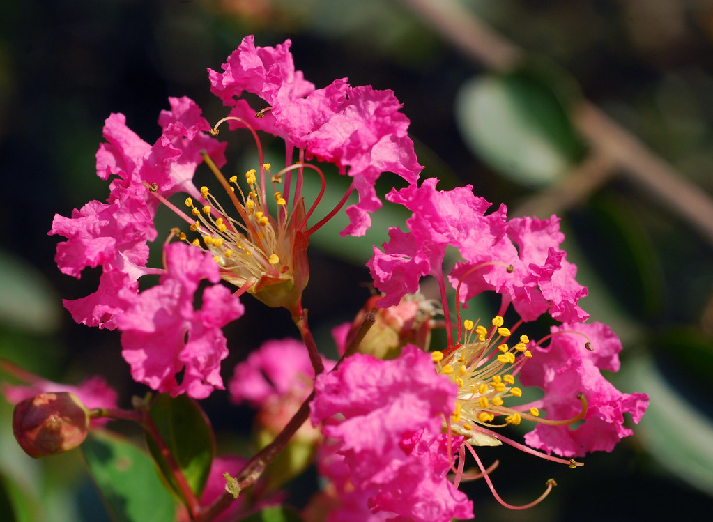 Crape myrtle (red flower)