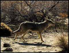 On the move... (kimrose...) Tags: california coyote desert wildlife joshuatree