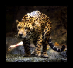 poised to pounce (Elf-Y) Tags: cat bravo jaguar firstquality hourofthediamondlight
