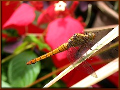 Orthetrum testaceum testaceum (a female dragonfly)