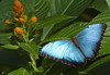 Morpho bleu (Guylaine2007) Tags: fleur animal bleu explore papillon animaux a aplusphoto photoquebec lysdor natureselegantshots explorewinnersoftheworld