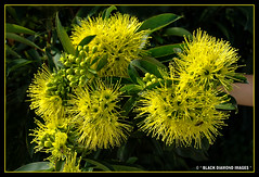 Xanthostemon chrysanthus - Golden Penda,Yellow Penda (Black Diamond Images) Tags: flower yellow rainforest native queensland nativeplants floweringtrees myrtaceae australiannativeplant australianflora goldenpenda australiannativeflowers xanthostemonchrysanthus australianflowers australiannativeplants xanthostemon australianplants rainforestplants rainforestplant australianrainforest arfp rainforesttrees australianrainforests blackdiamondimages australianrainforestplant australianrainforestplants australianrainforesttrees flowersrainforest floweraustralian yellowpenda yellowfloweringtrees qrfp australianrainforestflowers arfflowers yellowfp yellowarfflowers tropicalarf lowlandarf uplandarf xanthostemonchrysanthuscvfairhillgold blackpenda brownpenda flowersaustralian johnstoneriverpenda arfrheophyte