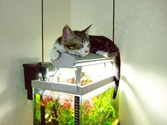 Over the tank (Chrischang) Tags: pet fish animal cat video tank printed 貓 youtube banban 斑斑 kissablekat 20080326