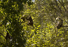 Men in trees (LP365) Tags: africa southafrica hiking capetown cape baboon capepoint fynbos glencairn baboonmatters