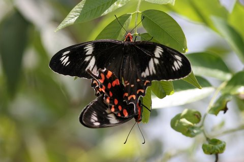 crimson rose b'fly mating devarayanadurga 050408