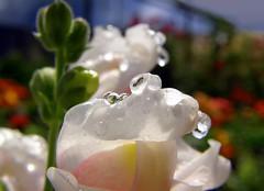 after the rain (✿ Graça Vargas ✿) Tags: flower droplets graçavargas bocadeleão anthirrhinummajus ©2008graçavargasallrightsreserved 18107160310