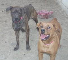 Ivy (Mastweiler) and Coco (Boxweiler) (muslovedogs) Tags: dogs ivy coco boxweiler mastweiler zeusoffspring daisyoffspring