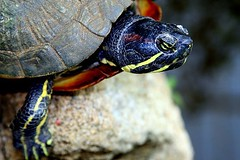 TurTle (Dulce Scalla) Tags: brazil nature animal animals brasil turtle natureza tartaruga chelonia naturesfinest quelnio
