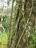 96.11.16竹崎鄉光華村茄苳風景區內的茄苳老樹DSCN3203