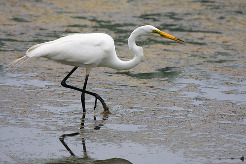 Egret by you.