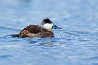 Ruddy Duck Drake (r)