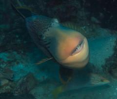 TriggerLips (willblatch) Tags: scuba saltwater fish triggerfish face underwater similanislands thailand
