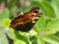 Tortishell Butterfly (max_y_mum) Tags: coventry butterfliesandmoths brandonmarsh