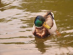 Alles Ente (MaretH.) Tags: bird nature animals tiere duck video wildlife natur clip slideshow ente vogel thesuperbmasterpiece