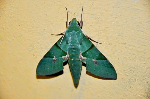 Mariposa verde (03)