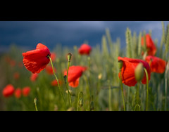 Rest your head (victor*f) Tags: sunset lake storm clouds wheat flash poppies fields remote katzensee strobist minisoftbox sc28 sb900 14cto furttal