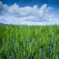 Short Focus I (M a r c O t t o l i n i) Tags: blue color green 6x6 film nature field clouds zeiss square switzerland focus suisse kodak vert bleu epson mf nuages couleur champ carr planar vaud ektar hasselblad500cm v700 vuescan epsonv700 nettet epsonperfectionv700 ektar100 planar2880mm marcottolini