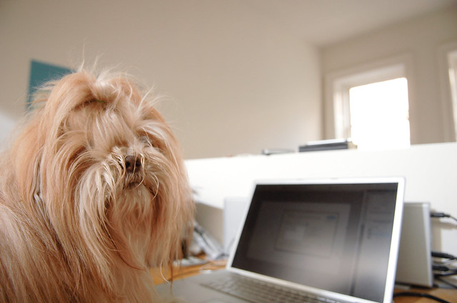 dog using a computer lhasa apso