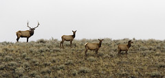 _MG_9948-2 (bryants wildlife images) Tags: fall yellowstone elk smorgasbord bullelk naturewatcher