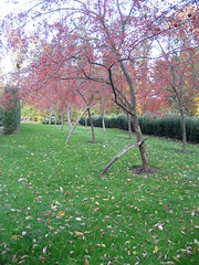 crab apple allee (lauraknosp) Tags: garden newhampshire crabapple allee