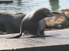 Pier 39 Seals Fishermans Wharf San Francisco (elatawiec62) Tags: san francisco seal wharf fishermans