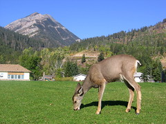 Lawn Mower (Vlastula) Tags: mountain canada grass animal fauna rockies nationalpark wildlife lawn ab canadian deer fawn alberta rockymountains np mule watertonlakes whitetailed parkscanada canadianrockies supershot watertonglacierinternationalpeacepark cans2s wateton watertonvillage
