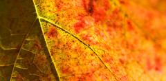 Fading into color (sevenbrane) Tags: autumn red color detail macro germany leaf wine stuttgart rotenberg naturesfinest theexhibit