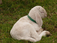 New to the world (roseinthedark) Tags: baby white nature sheep sweet lamb lovely countrylife happinessconservancy