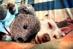ronfffffffffffff....... (confusedvision) Tags: dog love cane luna bianca peste lunetta preferito orsetto stellina pulce piccoletta vitadacanieh taaaaaaantosonnoooo fotovecchiachehoritrovato percheradatantochenonmettevounafotodellamiapestifera ilmiocaneunclown sisioklosochehomessounafotodiuncanemachissene fierissimadelsuotrofeo