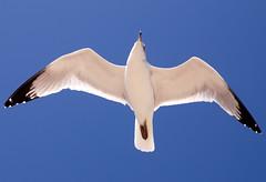 Fly Over (Lerxst Ohio) Tags: blue sky bird nature beautiful flying nikon florida seagull animalplanet verobeach tamron28300 supershot d80 nikond80 colorphotoaward cmwd cmwdblue