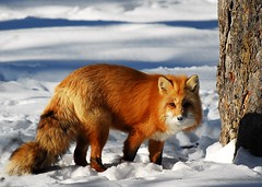Renard roux (Rock Arsenault) Tags: bravo faune renard 10faves golddragon naturewatcher photoquebec lesamisdupetitprince