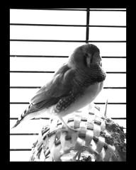 Zebra Finch B/W #2 (colinpuddephatt) Tags: light canal zoom serif