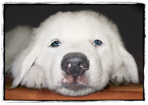 "Great Pyrenees Puppy ""Big Nose"""
