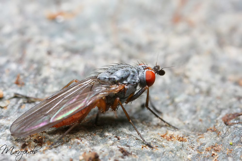 Fly red-eyes °2