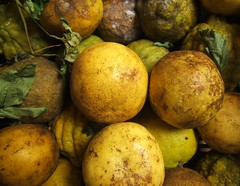 Rejected Grapefruits (sendroiu) Tags: leaves grapefruit rotten mould rejected mouldy musty trashbit