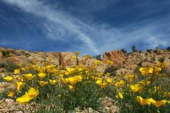 Spring Wildflowers (aschweigert) Tags: california flowers yellow stone nationalpark rocks desert joshuatree mojave wildflowers