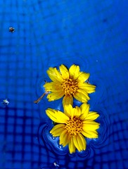 (shubhangi athalye) Tags: flowers blue india yellow swimmingpool matheran