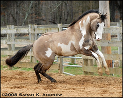 OH Justin Time: Silver Grullo Overo Paint Stallion (Rock and Racehorses) Tags: paint spin rear explore pivot colt stud stallion rearing pirouette grullo overo silvergrullo grullopaint