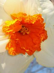 IMG_8328 (bluefootedbooby) Tags: flowers flores closeup fleurs blumen daffodil fiori narciso narcissus giunchiglia abigfave