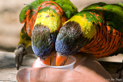 They Lead a Hand-to-Mouth Existence (SARhounds) Tags: soe rainbowlorikeets sandiegowildanimalpark naturesfinest fpc blueribbonwinner mywinners platinumphoto superbmasterpiece ysplix excellentphotographerawards