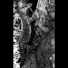 Monitor Lizard (a d a m r o w n e y) Tags: wild blackandwhite bw hot film nature contrast warm darkness natural australia sharp monitor lizard heat qld queensland alive temperature alert frasierisland tonality adamrowney bigfuckinglizard